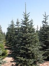 Hash Tree Company Corkbark Fir